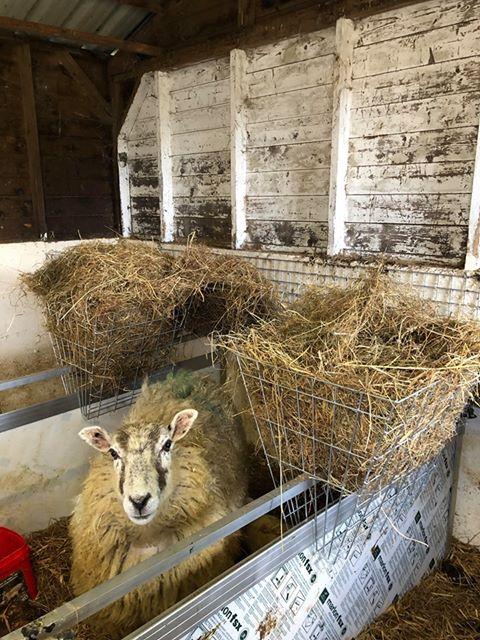Sheep inside hurdles with hay baskets