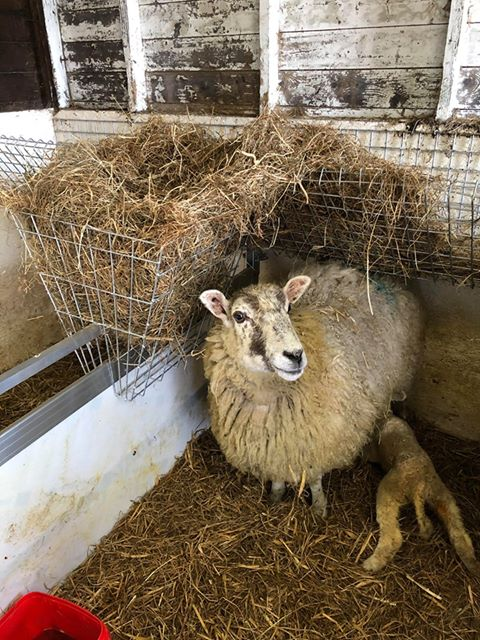 Sheep lambing with hay basket on top of hurdle